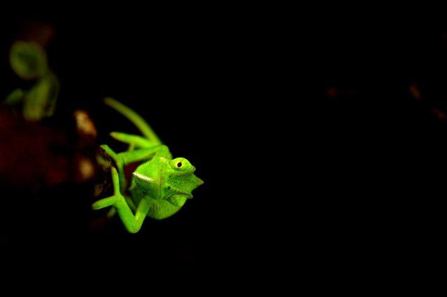close-up of a chameleon