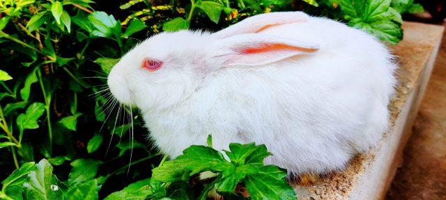 white rabbit in garden