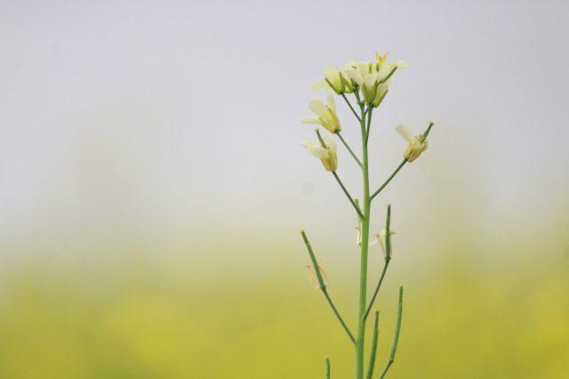 A mustard plant