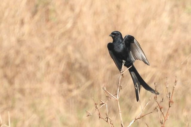 A black drongo on a twig