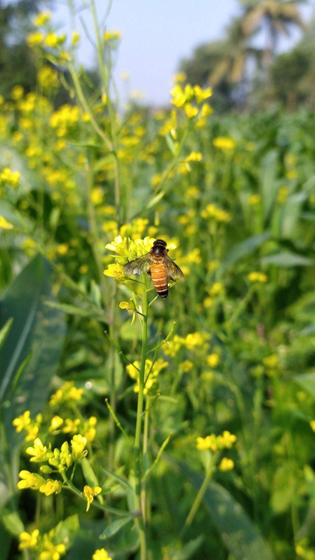 A honeybee on mustard plant
