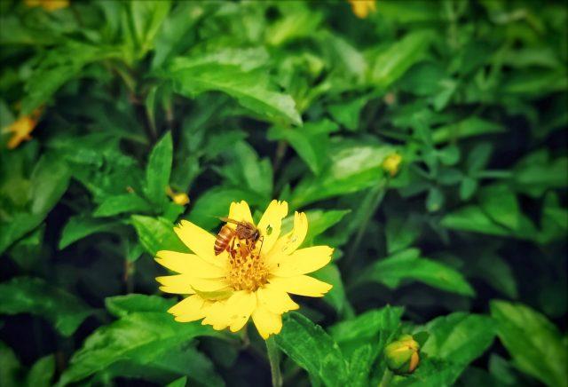 A honeybee on yellow flower