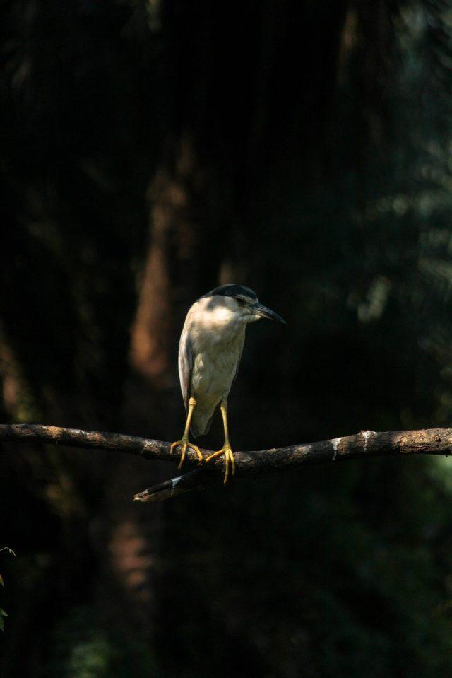 Night-Heron bird on a branch