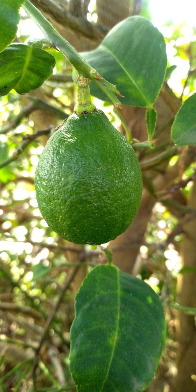 Green lemon on its tree