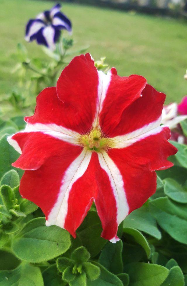 Shaded Pituniya flower