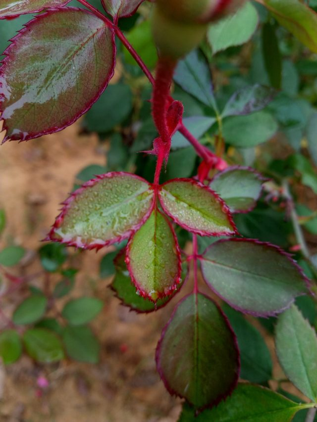Wet leaves of a rose plant