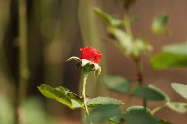 A red flower in a garden