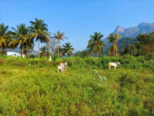 Cattle grazing in a grassland