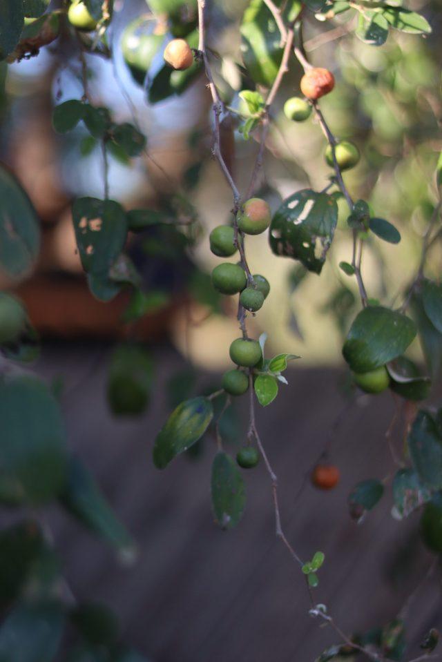 Wild fruit on plant