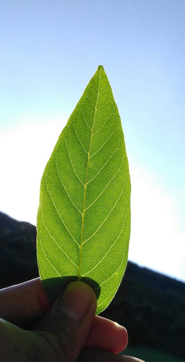 A green leaf in hand