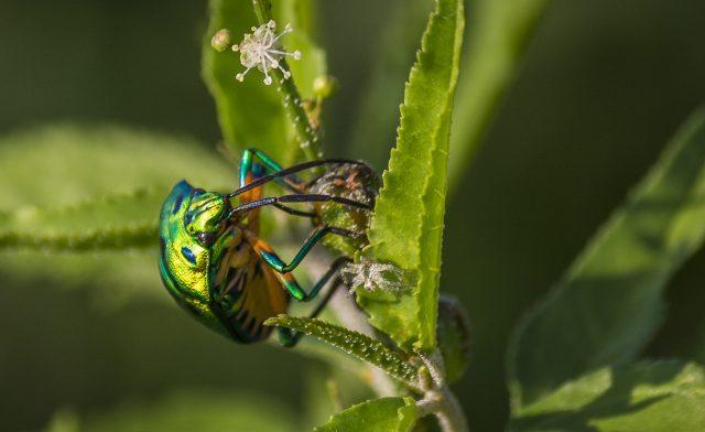 A jewel bug on a plant leaf