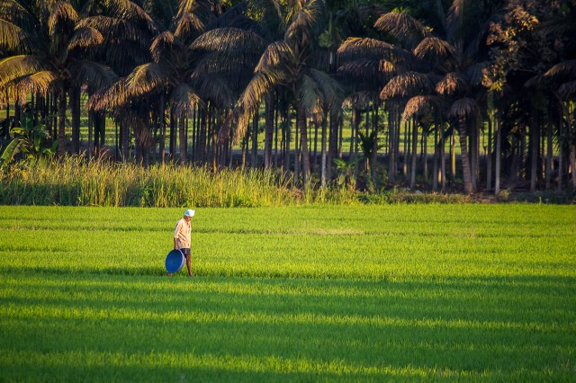 A farmer in a paddy field