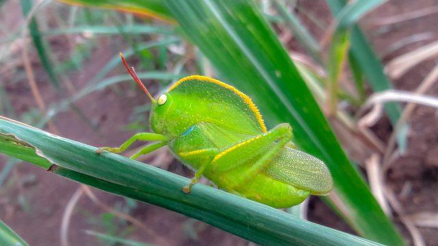 A grasshopper on plant leaf