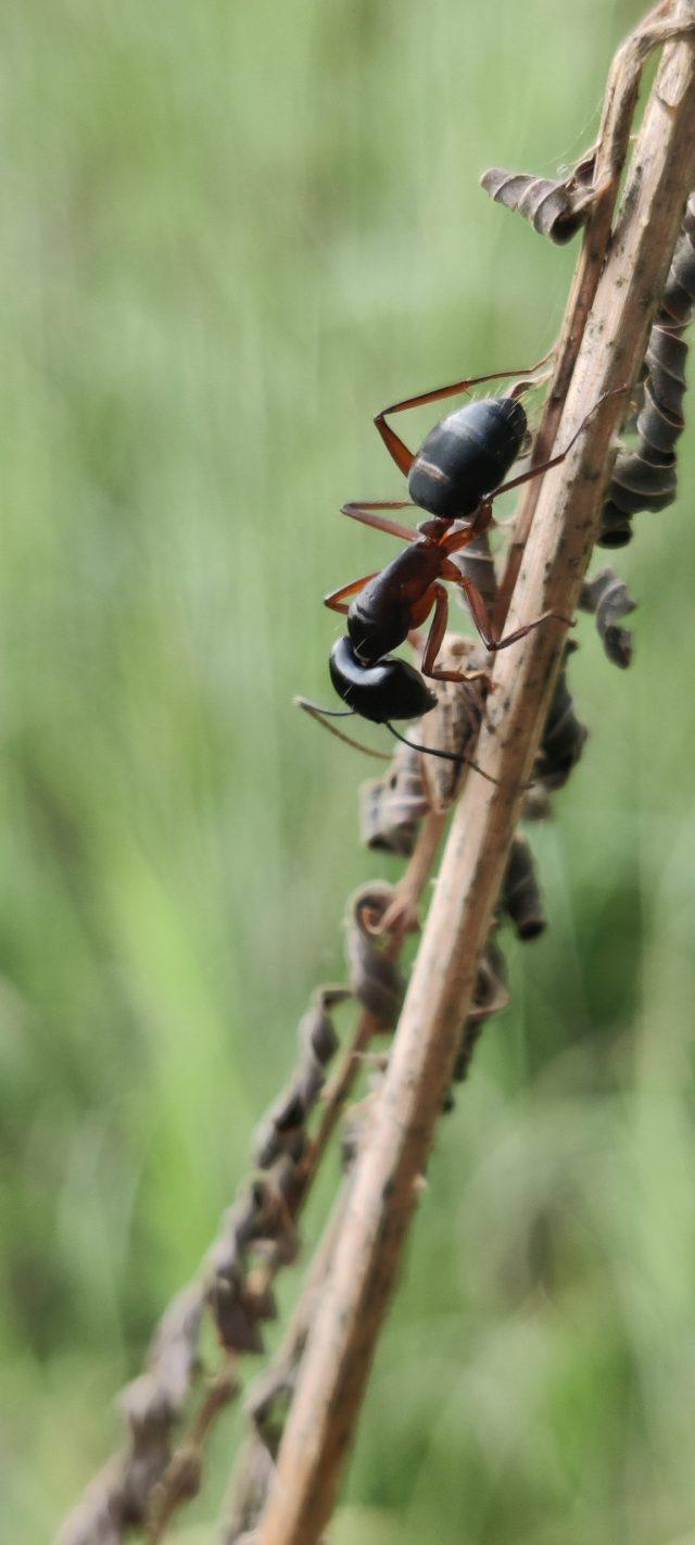 Ant on plant stem