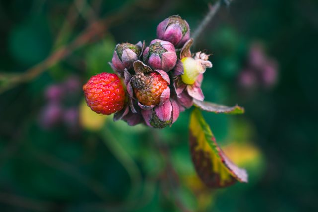 Berries of a plant