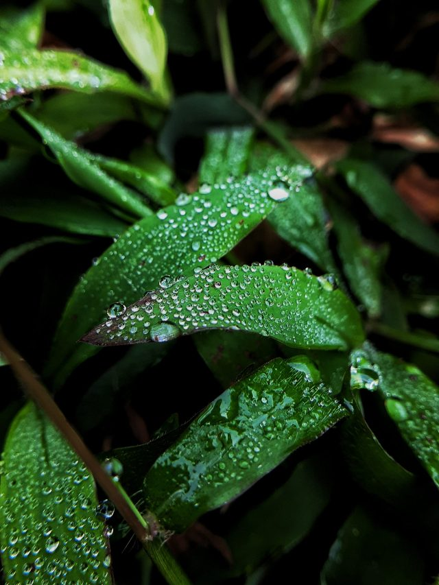 Dew drops on grass leaves