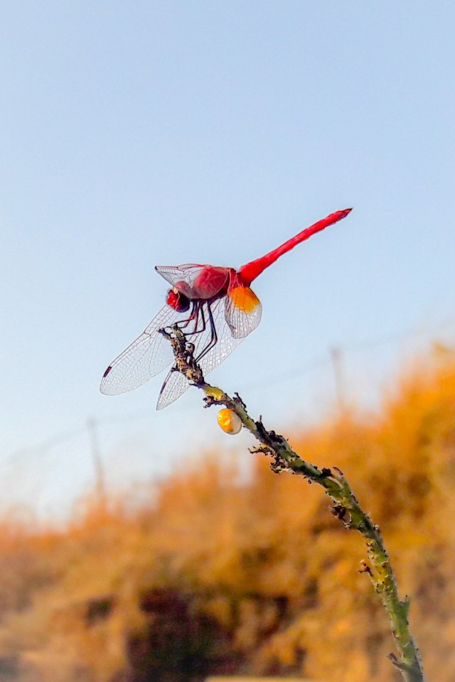 Red dragonfly on plant stem