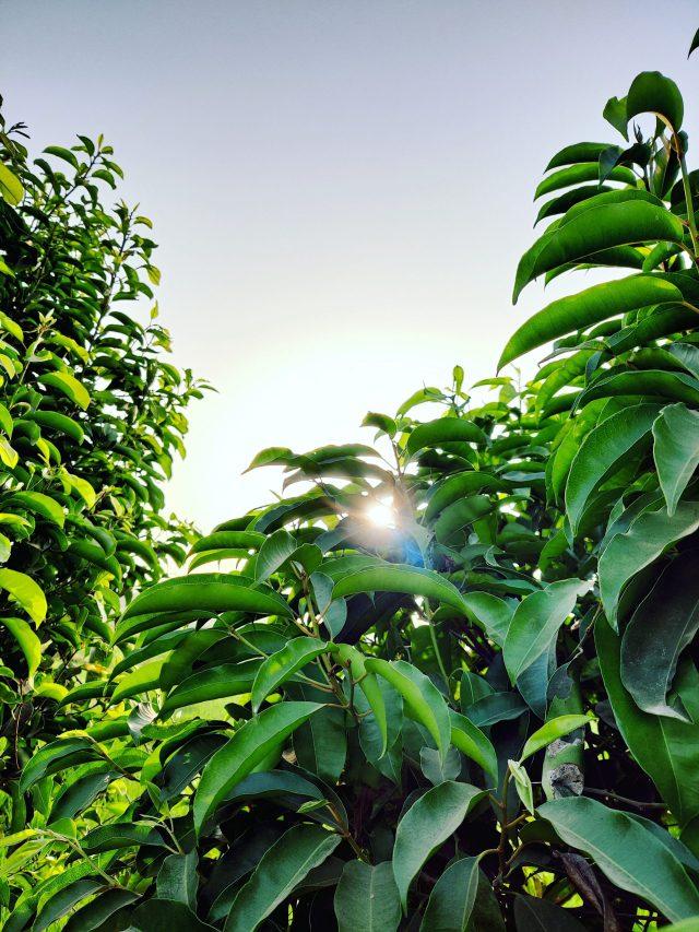 Sunrise between the leaves