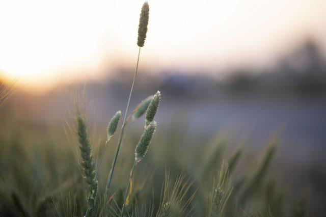 Wheat crop in the farm