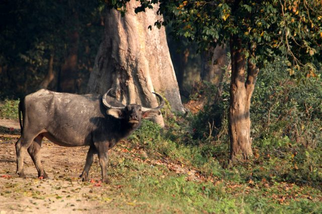 Wild Buffalo in the forest