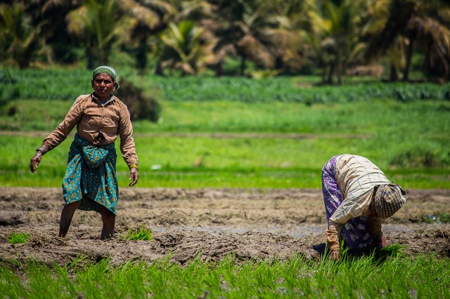 Women working in a paddy field