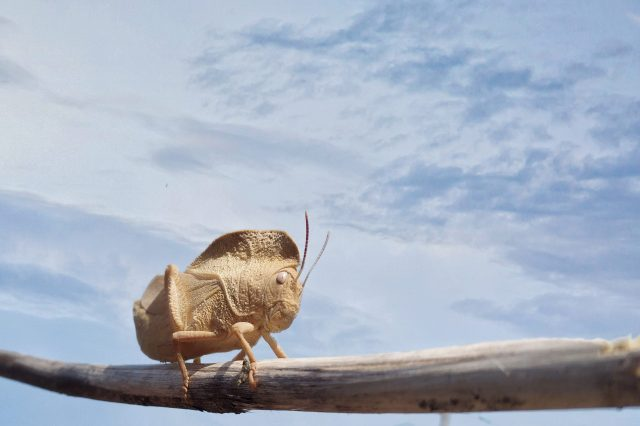 Grasshopper on stick