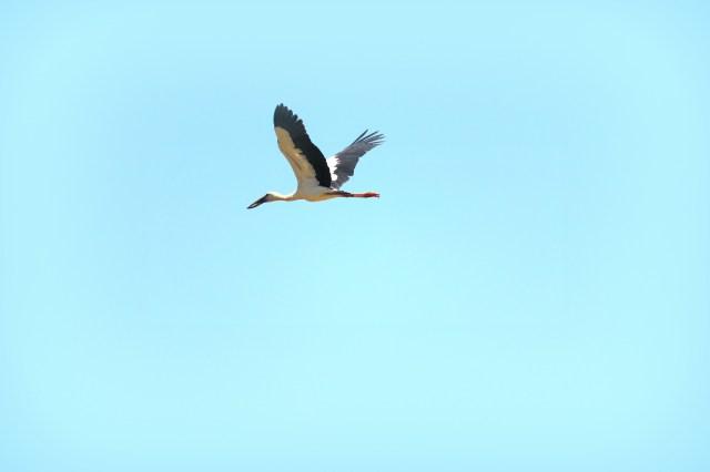 Heron bird flying