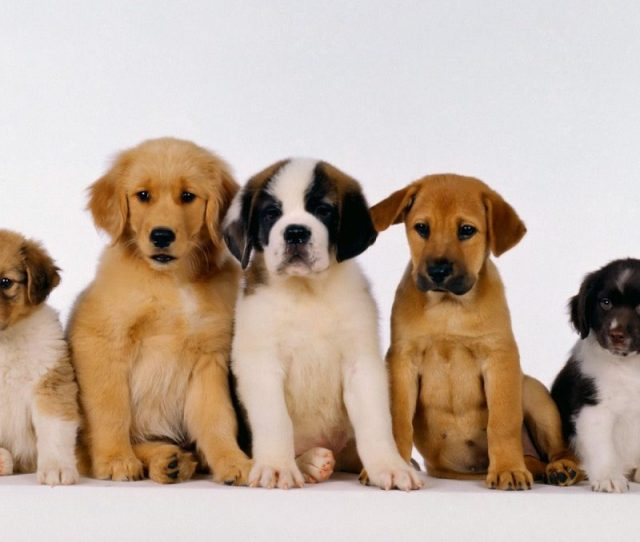 Best Dogs And Puppies Wallpaper Full Hd P For Pc Background  Free Download Puppies