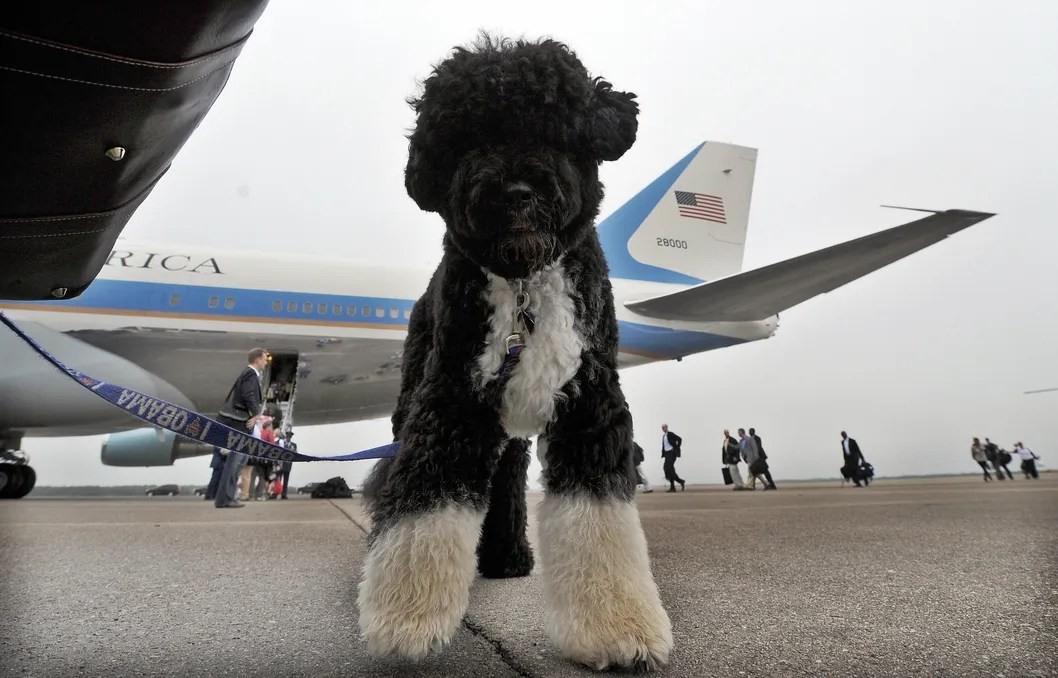 Great White Shark Jumping At Helicopter Obama Dog Sunny
