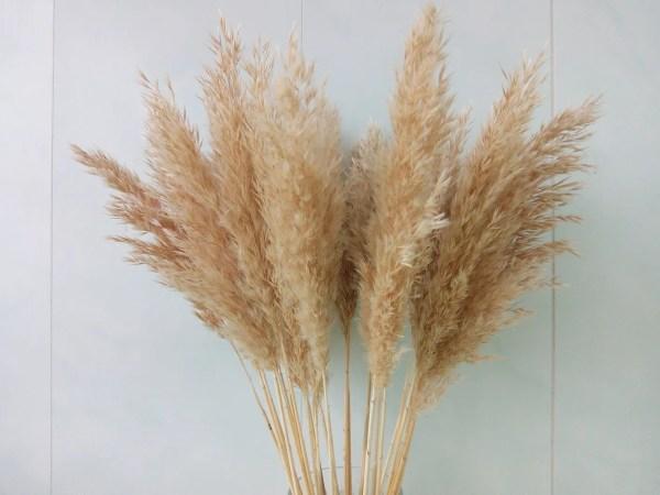 Pampas Grass Online
