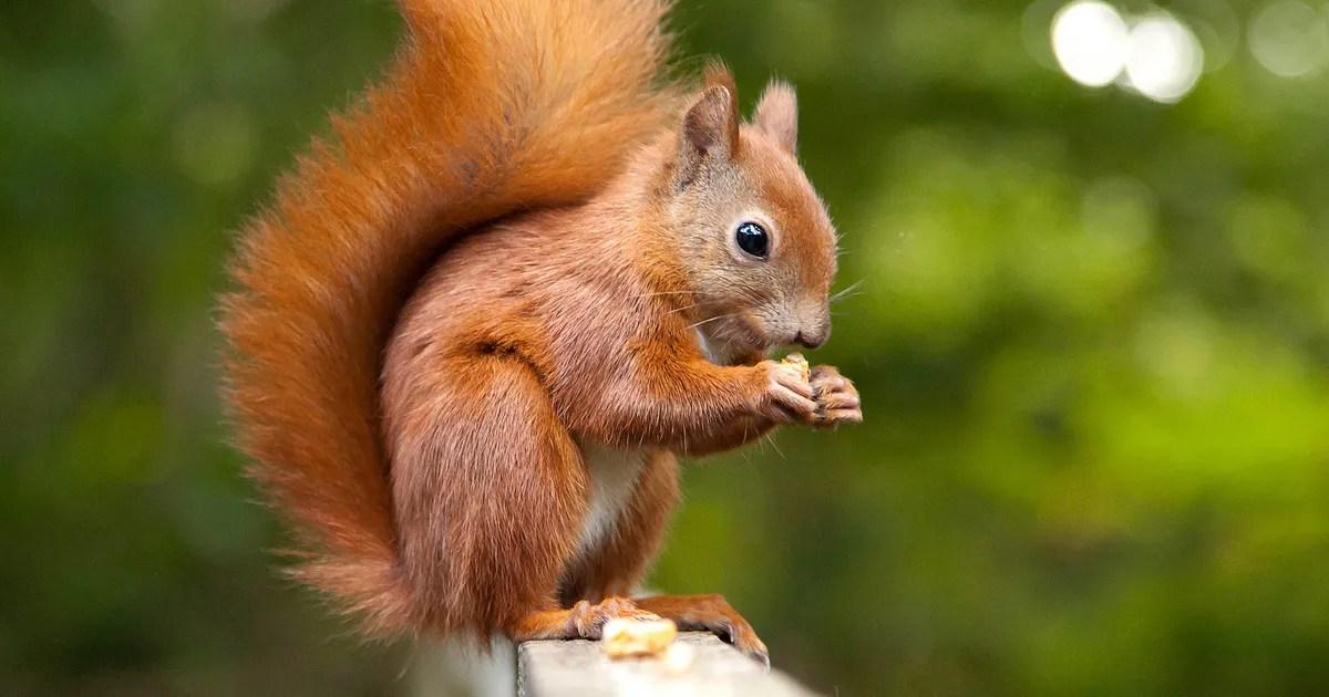 Red Animal Print Wallpaper Squirrel Fitness Tracker Study Women Busier Than Men