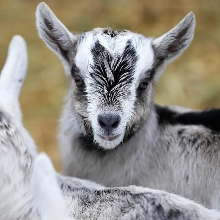 connecticut goat farm to