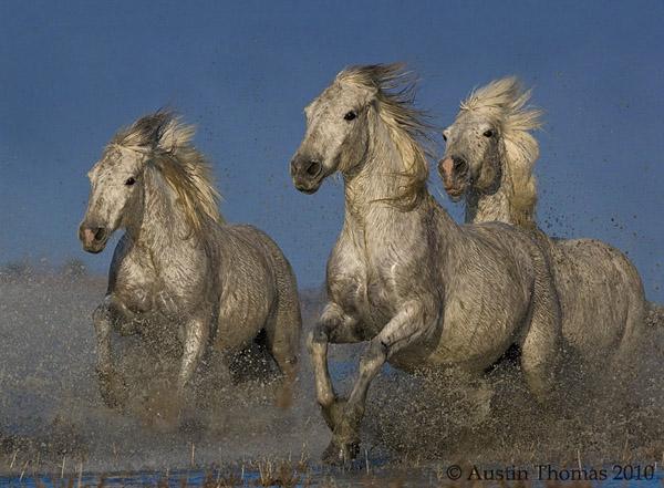 galloping_horses_17