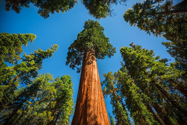 Sequoia-3