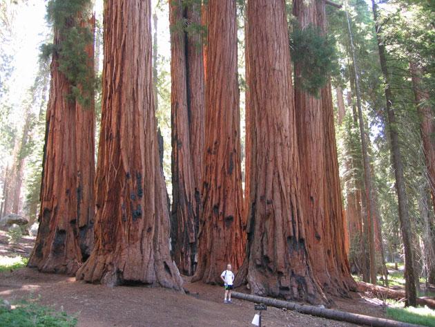 Sequoia-6