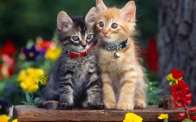 cat cute hd cats double couple kitten pixelstalk