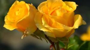 yellow rose flower wallpapers flowers roses desktop backgrounds amarillas rosas aesthetic roblox flores wallpaperdog dedemax popular hermosas pixelstalk letra floricienta