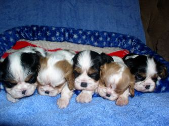 puppies puppy cute dog background wallpapers hd backgrounds screensavers sleeping galaxy tablet pixelstalk android breeds