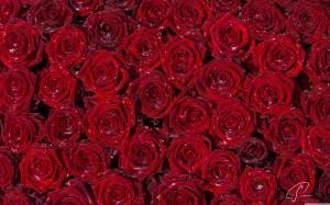 roses rose background backgrounds desktop 3d pixelstalk