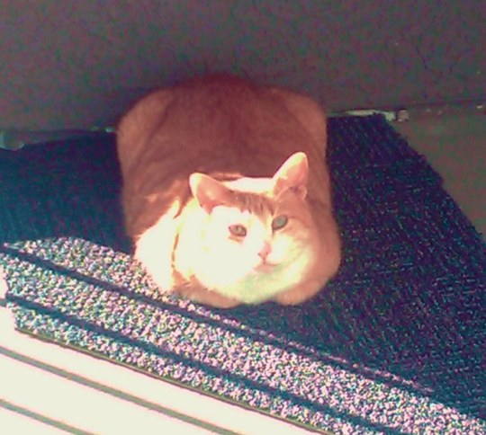 Photo of an orange cat in the sunshine looking up at us from a weirdly-shaped piece of carpet.