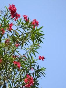Deep pink Oleander flowers