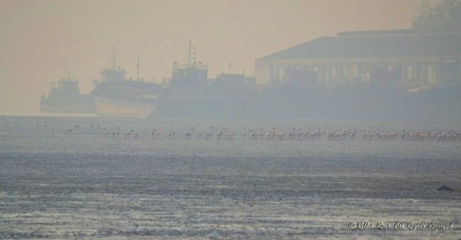Flamingos against backdrop of derelict ships
