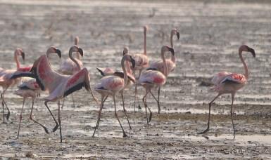 Sewri - Lesser flamingos