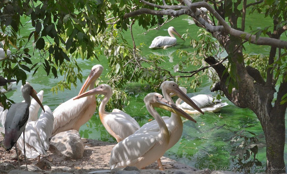 Pelicans at Lucknow Zoo