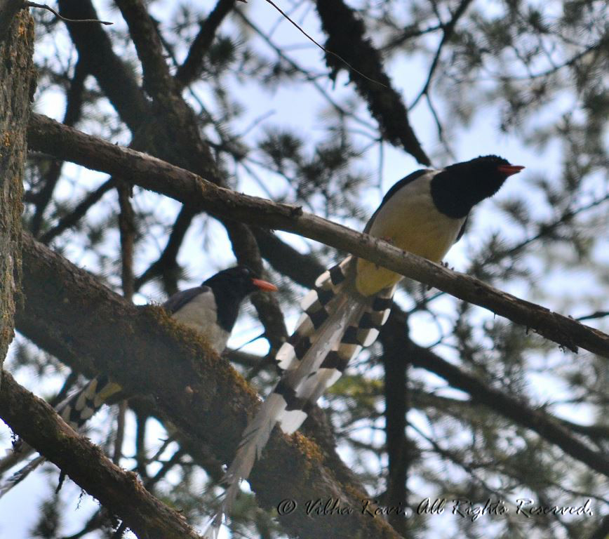 Yellow Billed Blue Magpie at Dhanaulti Eco Park