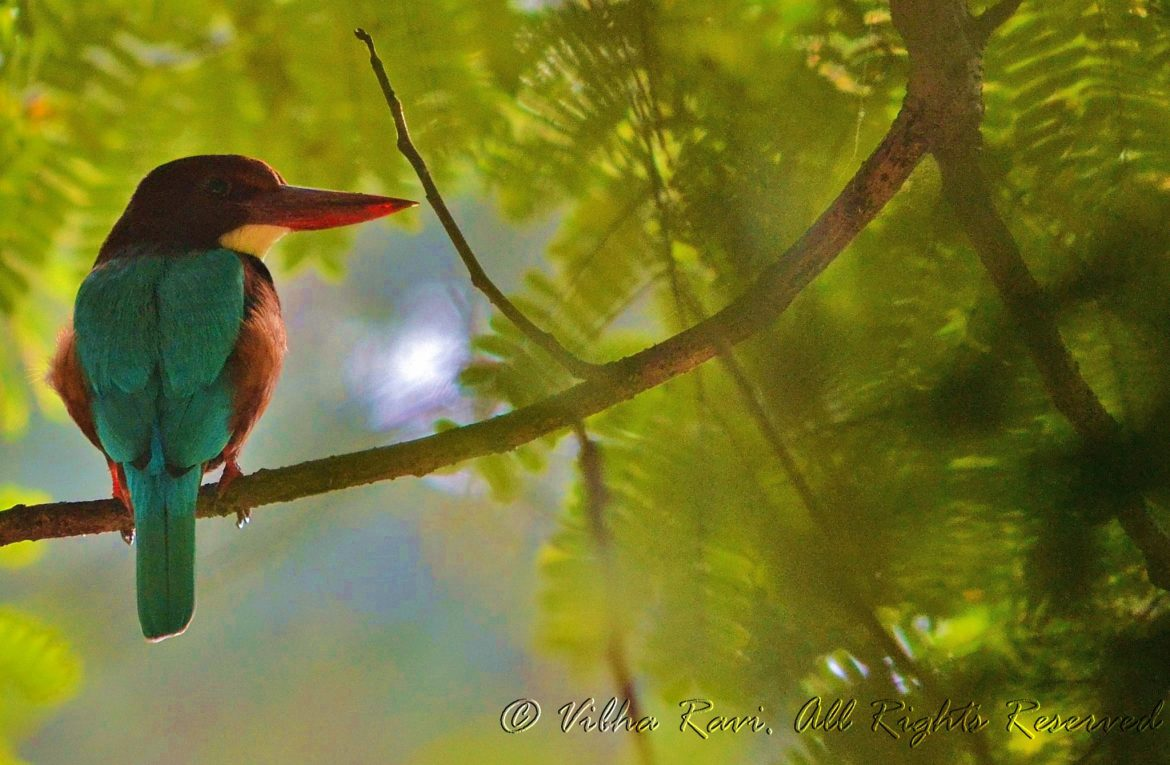Indian white-throated kingfisher