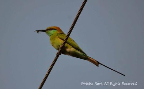 Breakfast time for a green bee eater