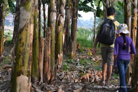 Banana plantation Anegundi