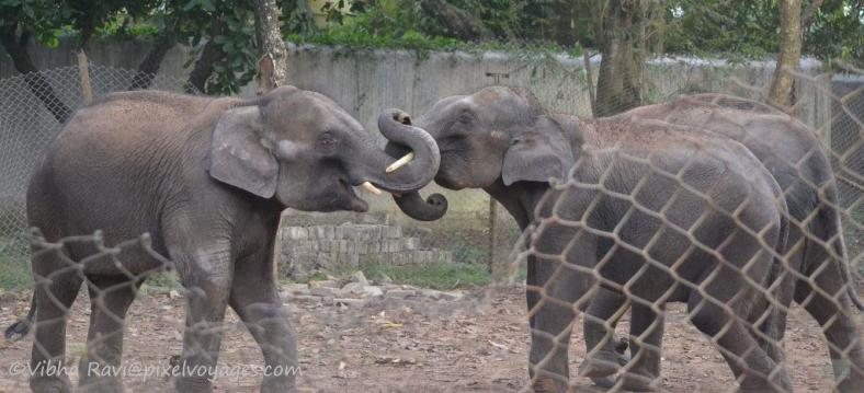 Playful elephants - young adults