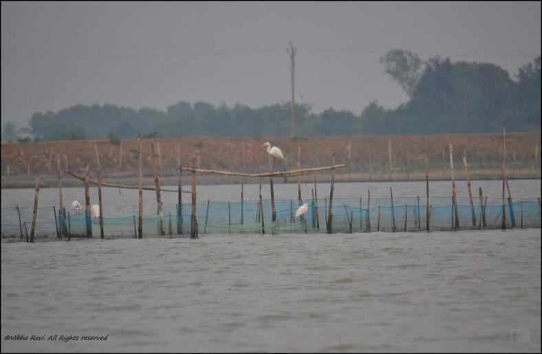 Egrets perched on bamboo poles at Chilka Lake